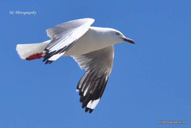 seagull_0649a