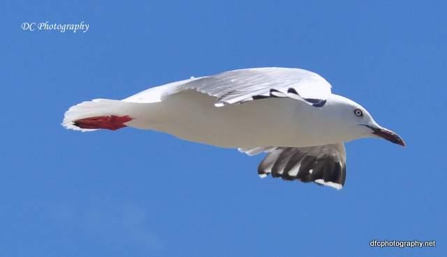 seagull_0650