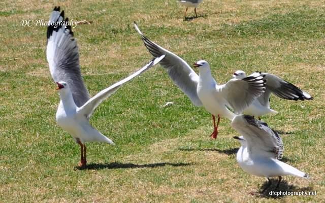 seagull_0662