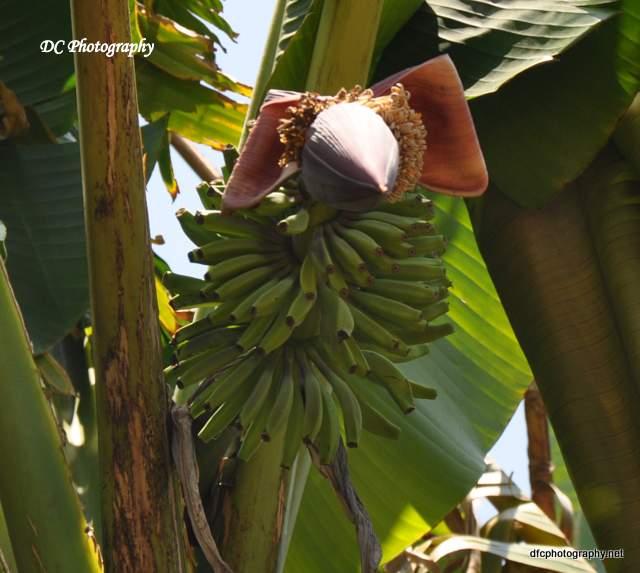 bananas_1250