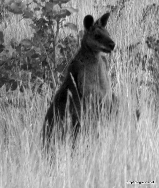 kangaroo_8744