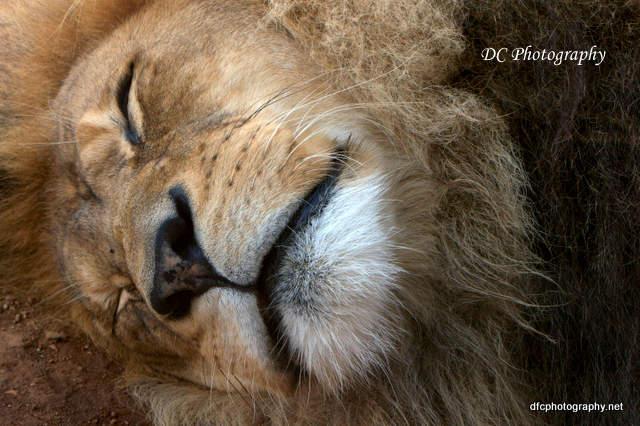 Lion_0978a