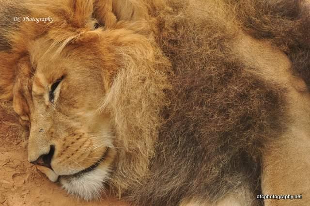 Lion_0999