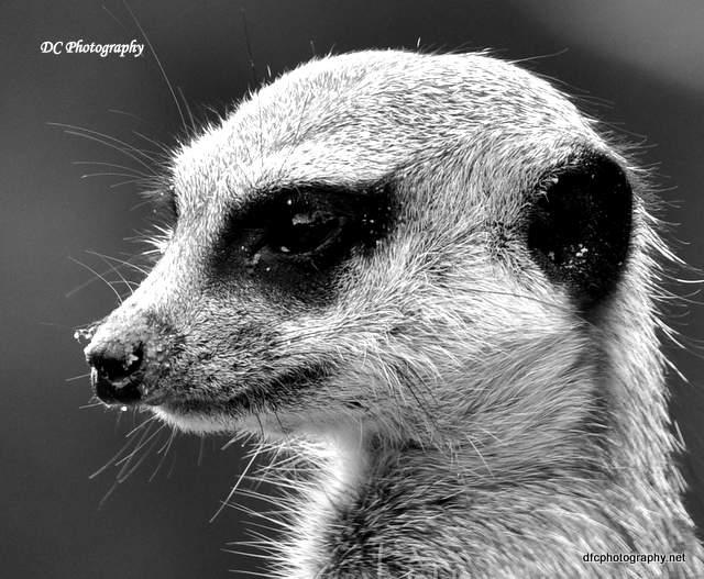 meerkat_1034