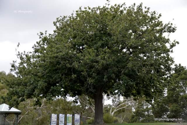 oak-tree_8775