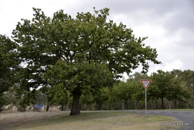 oak-tree_8776