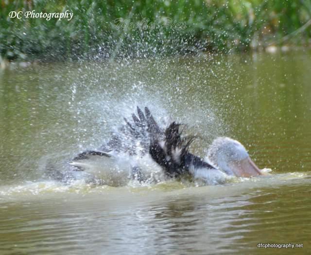 pelican_2939