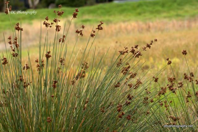 reeds_0931