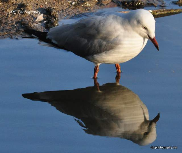 seagull_0997