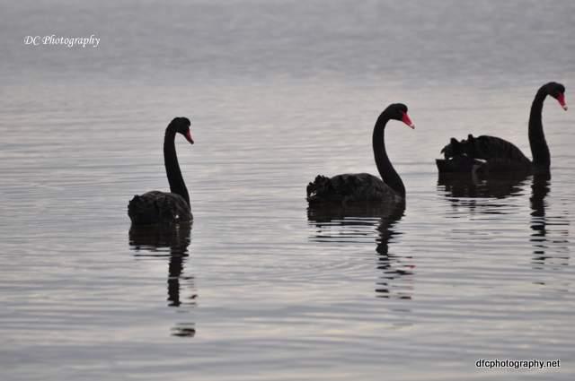 swans_0233