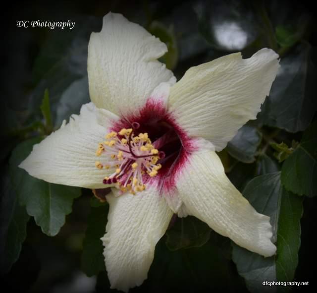hibiscus_8887