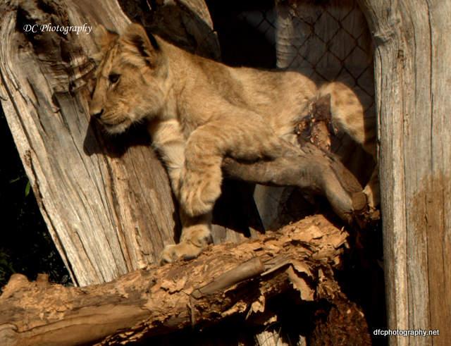 Lion_0924