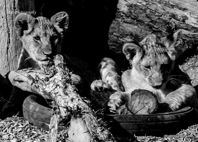 lions_0854