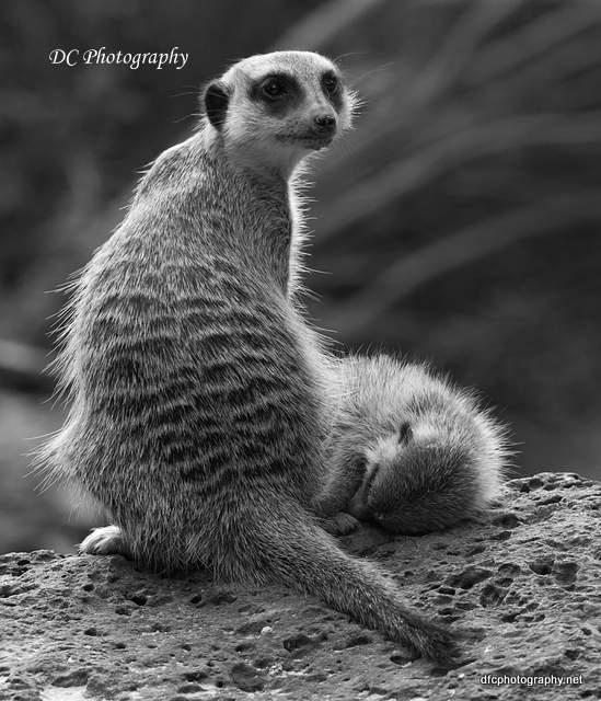 meerkat_1027