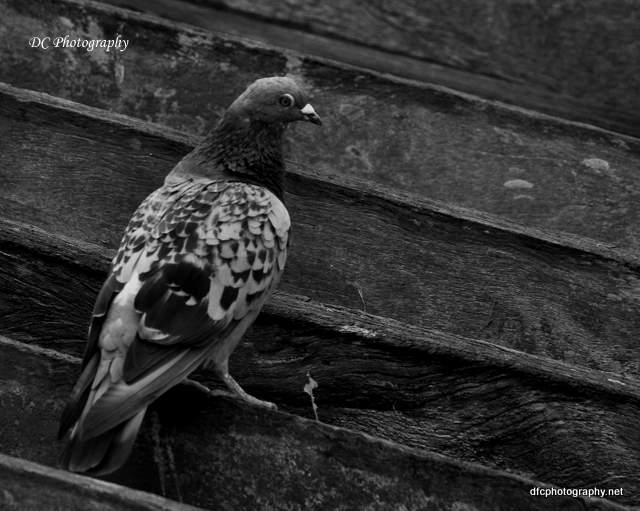 pigeon_0026