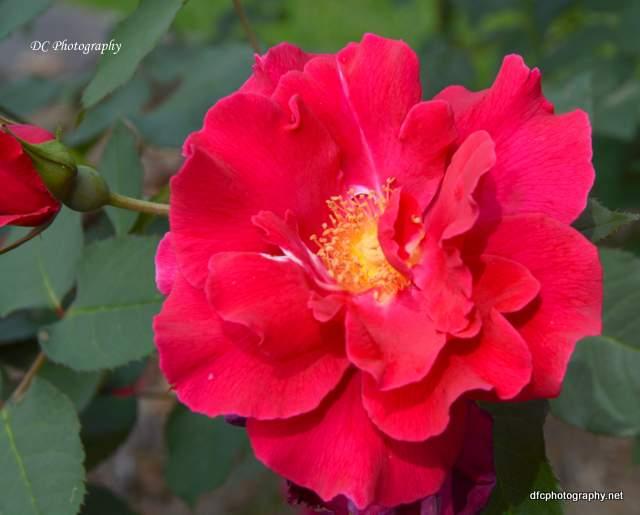 red-rose_8895