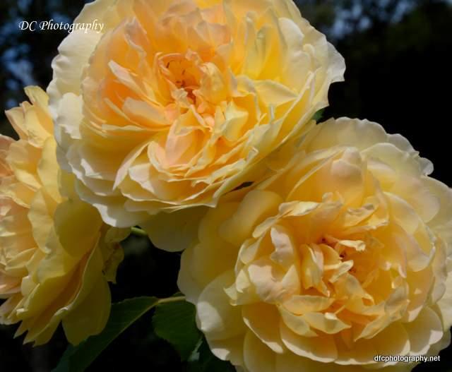 rose_8892