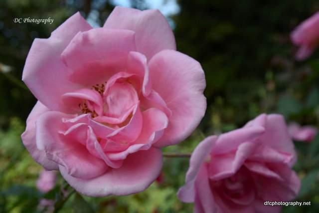 rose_8893