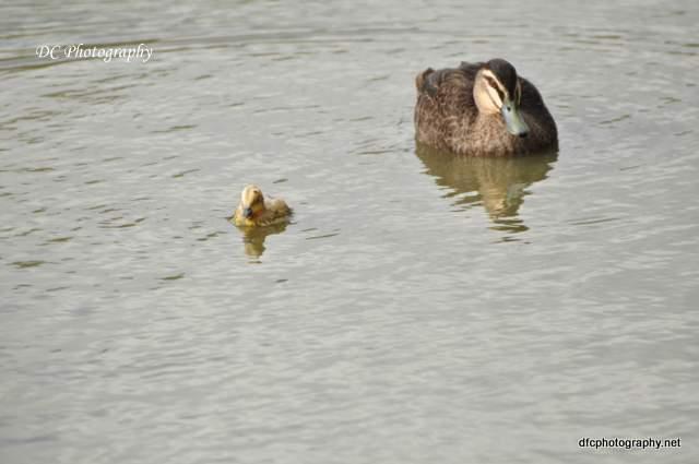 ducks_0074