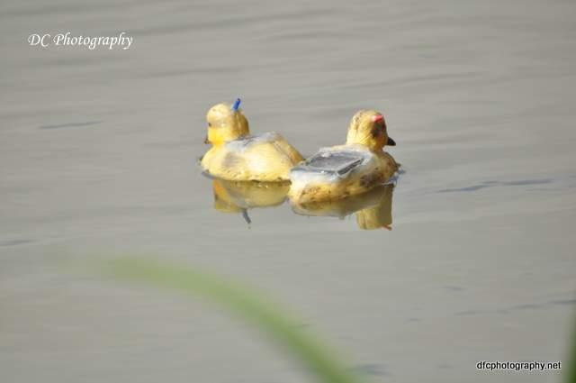 ducks_0076