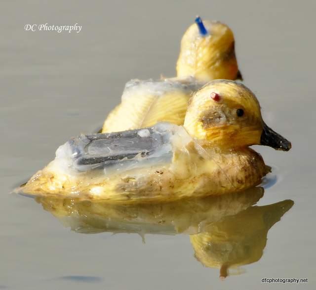 ducks_0077