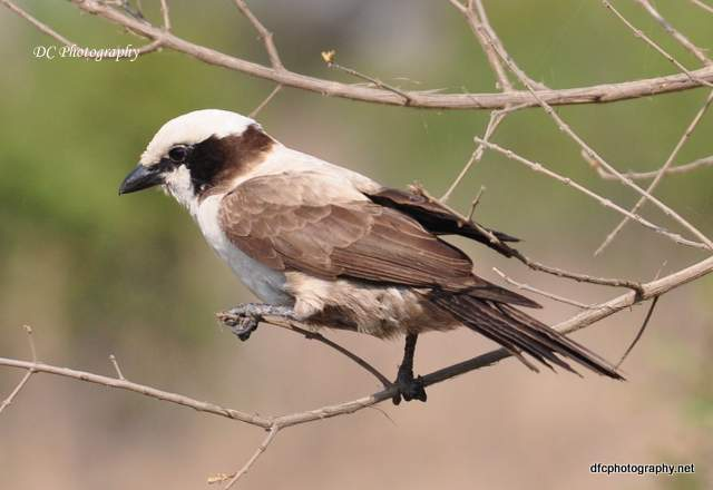 Northern-White-Crowned-Shrike _0133