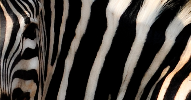 zebra-abstract_0493a