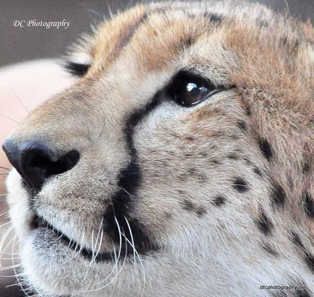 Cheetah_0309-moholoholo