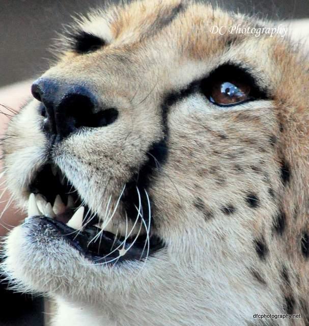 Cheetah_0310-moholoholo