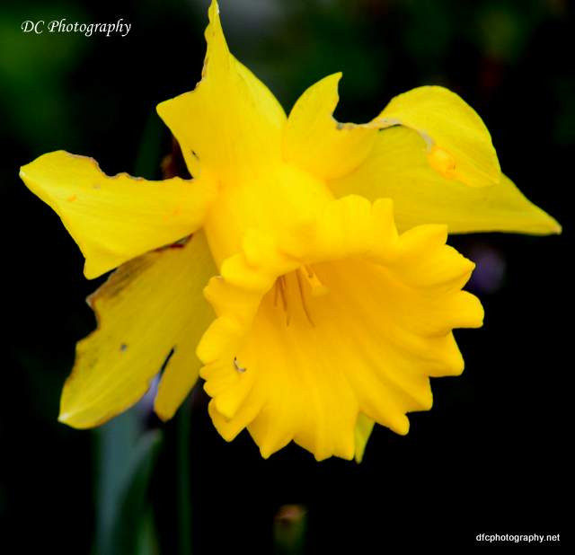 Daffodils_0741