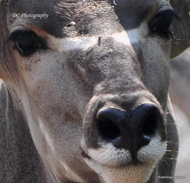 kudu_0238