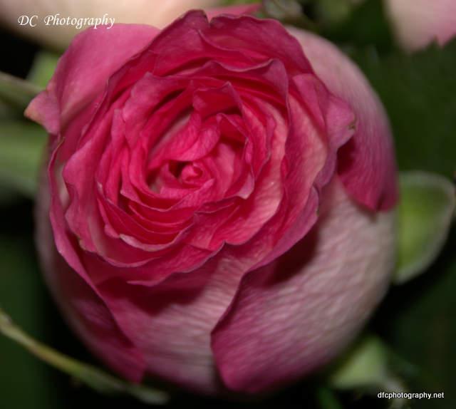 Rose_0064