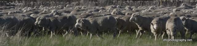 sheep_0376