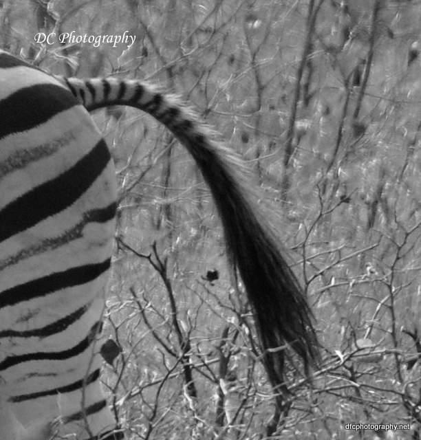 zebra_0147