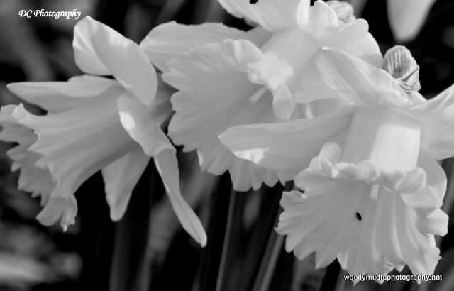 Daffodils_1912