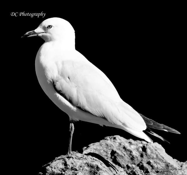 seagull_0007
