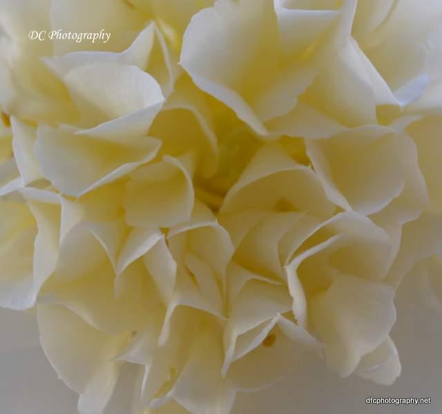 Camellia_0545