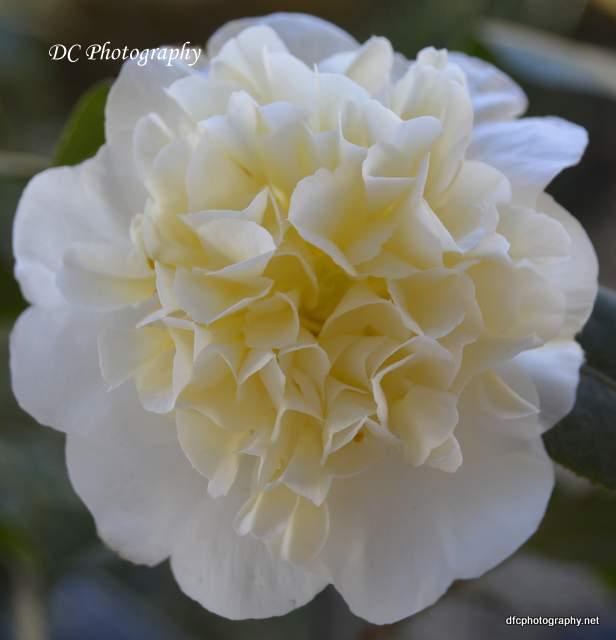 Camellia_0545a