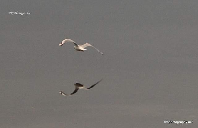 Corio-Bay-Seagull_0084a