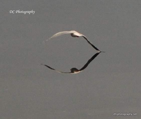 Corio-Bay-Seagull_0085