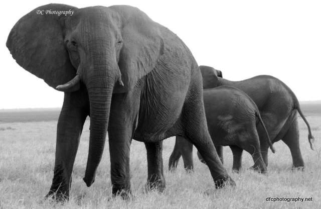 elephant_N2291