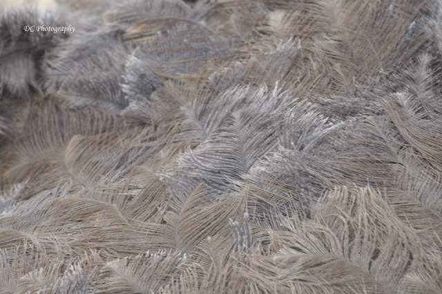 feathers_0433