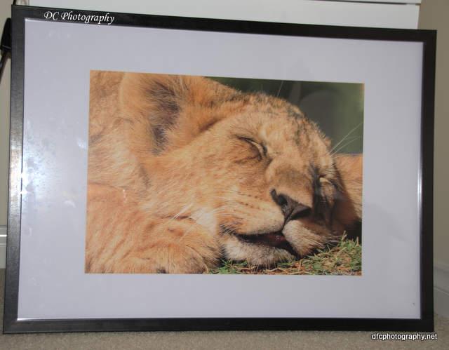 lion_cub0926