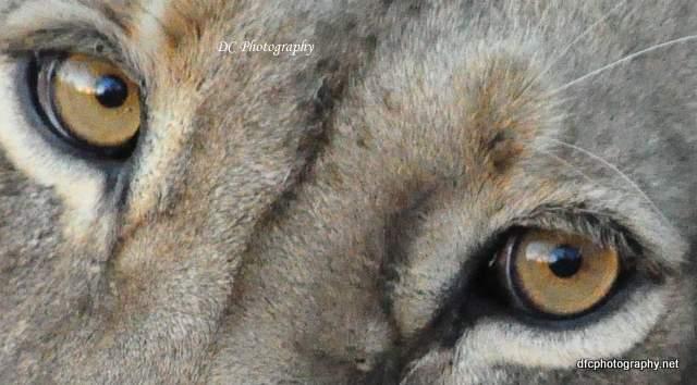 lioness-Limpy_0626