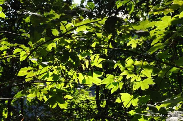 black-forest-trrees_0139