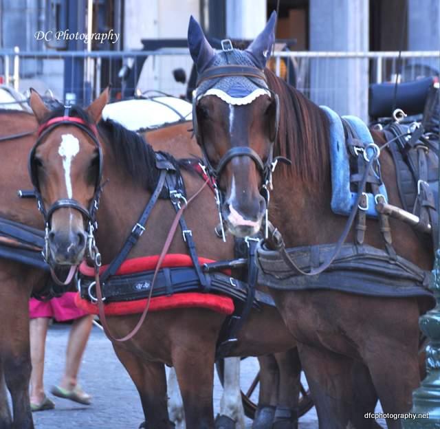 brugge-horses_0179