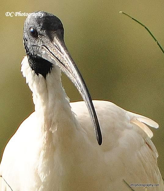 ibis_0088