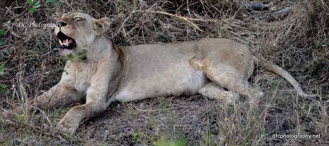 lion-cubs_0490