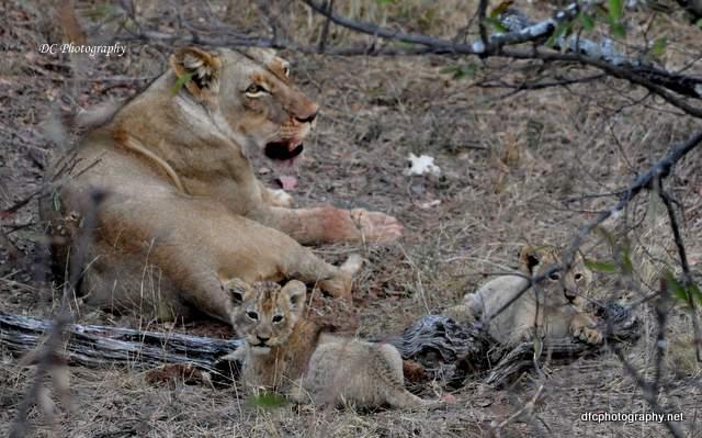 lion-cubs_0529