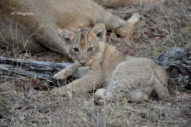 lion-cubs_0530